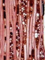 CELASTRACEAE Lophopetalum oblongifolium