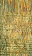 COMBRETACEAE Anogeissus leiocarpa