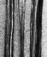 PIPERACEAE Macropiper excelsum