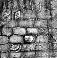 PITTOSPORACEAE Pittosporum tobira