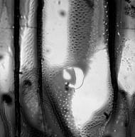 GESNERIACEAE Kohleria elegans