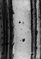 SCHISANDRACEAE Illicium cambodianum