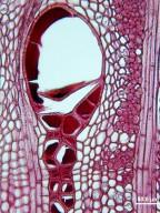 LEGUMINOSAE MIMOSOIDEAE Prosopis chilensis