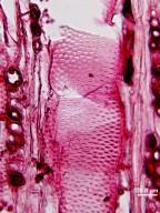 LEGUMINOSAE CAESALPINIOIDEAE Mimosoid Clade Prosopis pubescens