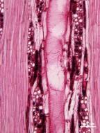 LEGUMINOSAE MIMOSOIDEAE Prosopis pubescens