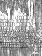 PICRAMNIACEAE Picramnia pentandra