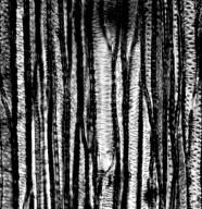 VIVIANIACEAE Viviania rosea