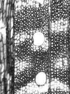 PROTEACEAE Stenocarpus salignus