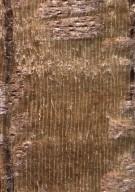 ANNONACEAE Duguetia staudtii