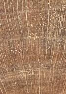 RUBIACEAE Cephaelis glabrescens