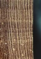 RUBIACEAE Faramea occidentalis