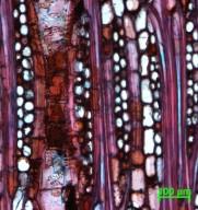 MALVACEAE BOMBACOIDEAE Rhodognaphalon brevicuspe