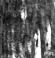 MORACEAE Ficus sur
