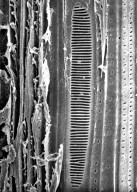 AEXTOXICACEAE Aextoxicon punctatum