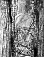 ANACARDIACEAE Blepharocarya involucrigera