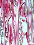 ARALIACEAE Oreopanax peltatus
