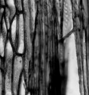 ARISTOLOCHIACEAE Thottea siliquosa