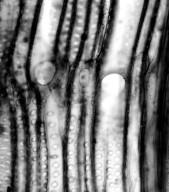 ASTERACEAE Argyroxiphium sandwicense