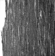 BRASSICACEAE Cheiranthus scoparius