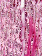 CANNABACEAE Pteroceltis tatarinowii