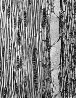HERNANDIACEAE Hernandia nymphaeifolia