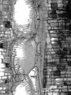 HERNANDIACEAE Illigera appendiculata