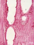 OLEACEAE Fraxinus pennsylvanica