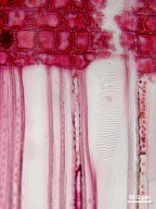 PENTAPHYLACACEAE Cleyera theoides