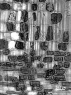 RHAMNACEAE Berchemia scandens