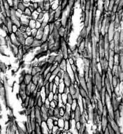 SAURURACEAE Anemopsis californica