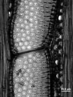 ULMACEAE Ampelocera cubensis