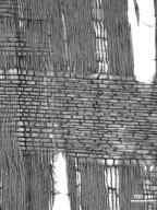 ULMACEAE Ampelocera glabra