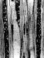 ROSACEAE Prunus gummosa
