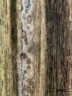 FAGACEAE Quercus leuca
