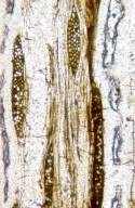 ULMACEAE Ulmus baileyana