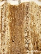 OLEACEAE Fraxinus washingtoniana