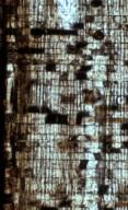 SAPINDACEAE Sapindoxylon klaassenii