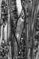 LAURACEAE Cinnamomoxylon oleiferum