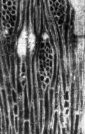 ANACARDIACEAE Maureroxylon crystaliphorum