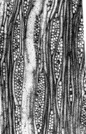 FAMILY? Scottoxylon eocenicum