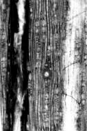 ANACARDIACEAE Terrazoxylon ductifera