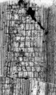SABIACEAE Meliosma dodsonii