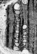 LAURACEAE Cryptocaryoxylon radiporosum