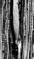 BETULACEAE Betula clarnoensis
