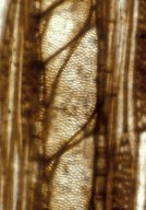 MORACEAE? NutBeds.Urticalean.WoodType1