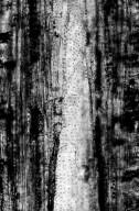 PLATANACEAE? Plataninium piercei