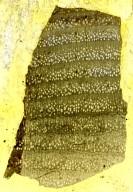 CAESALPINIOIDEAE Gleditsioxylon columbiana