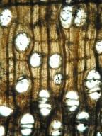 JUGLANDACEAE Rhysocaryoxylon tertiara