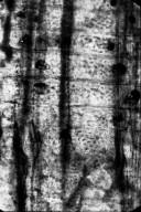 FAMILY? Clarno Nut Beds Xylotype III-C-ii 1
