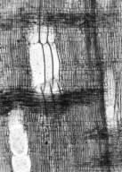 JUGLANDACEAE Clarnoxylon blanchardii
